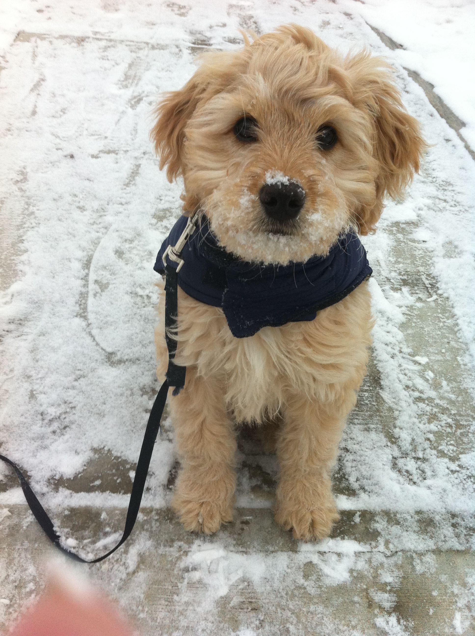 labradoodle dogs cute Pinterest