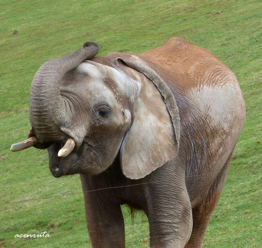 Cabárceno. Elefante