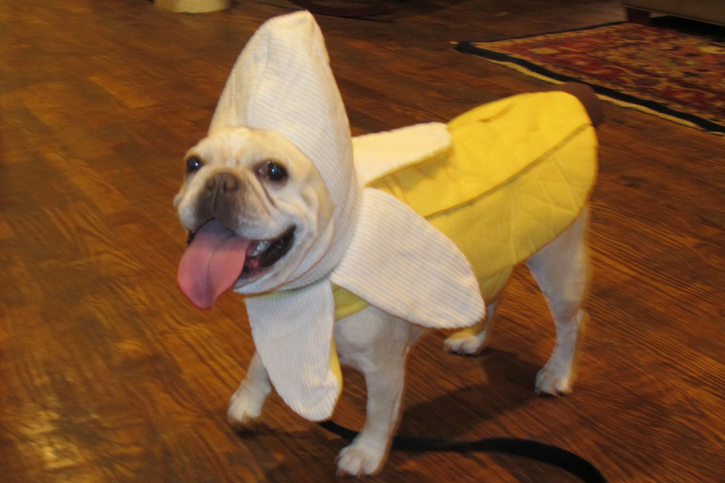 Charlottes last Halloween costume French Bulldogs and