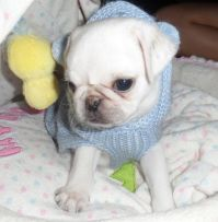 The gallery for --> Cute Pugs In Clothes