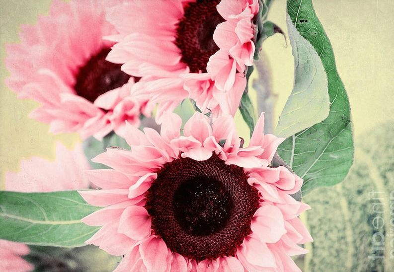 Fall Sunflowers Wallpaper Pink Sunflowers Fall And More Pinterest
