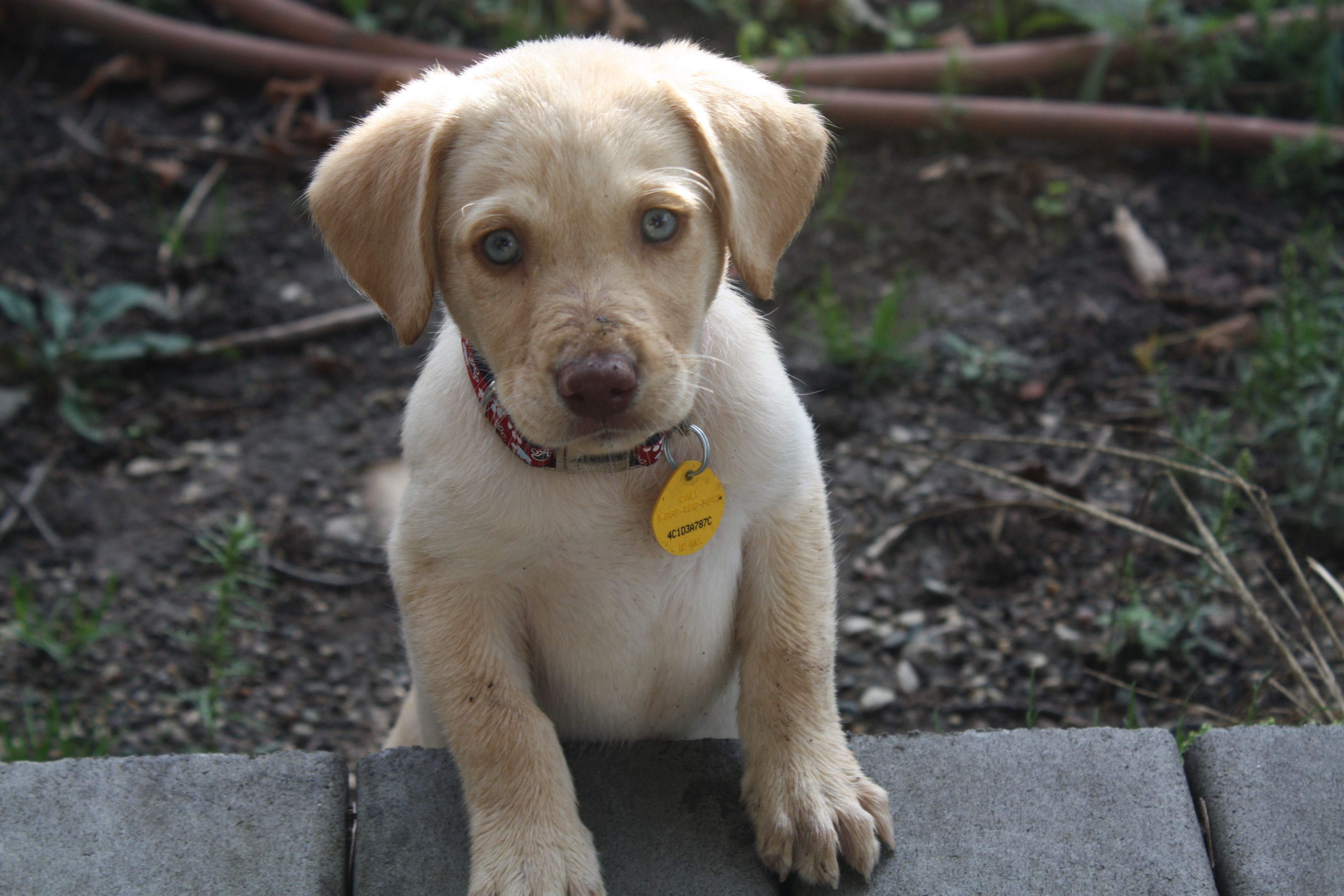 Dudley Lab I love Dudley Labradors! Pinterest