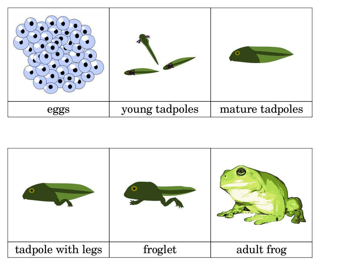 The Frog Life Cycle Process