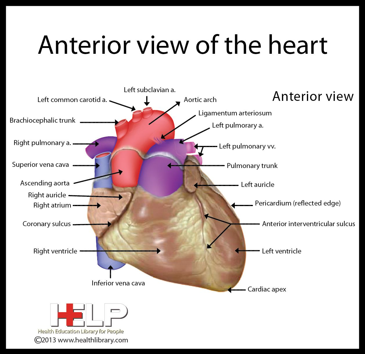 human heart diagram posterior battery wiring for club car golf cart view of the valves pictures to pin on