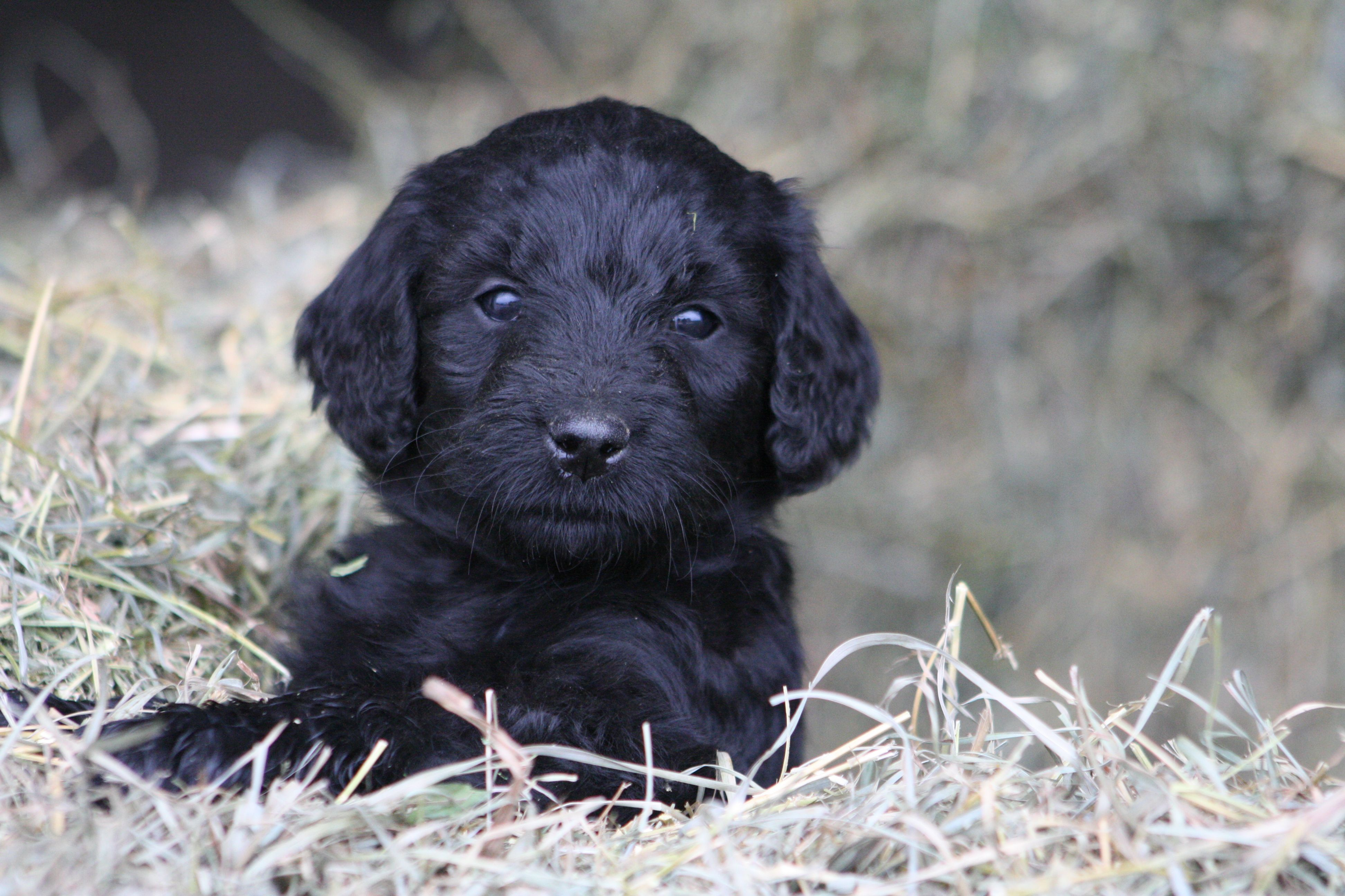 Black Goldendoodle Puppy Dakota Sprinkles Pinterest