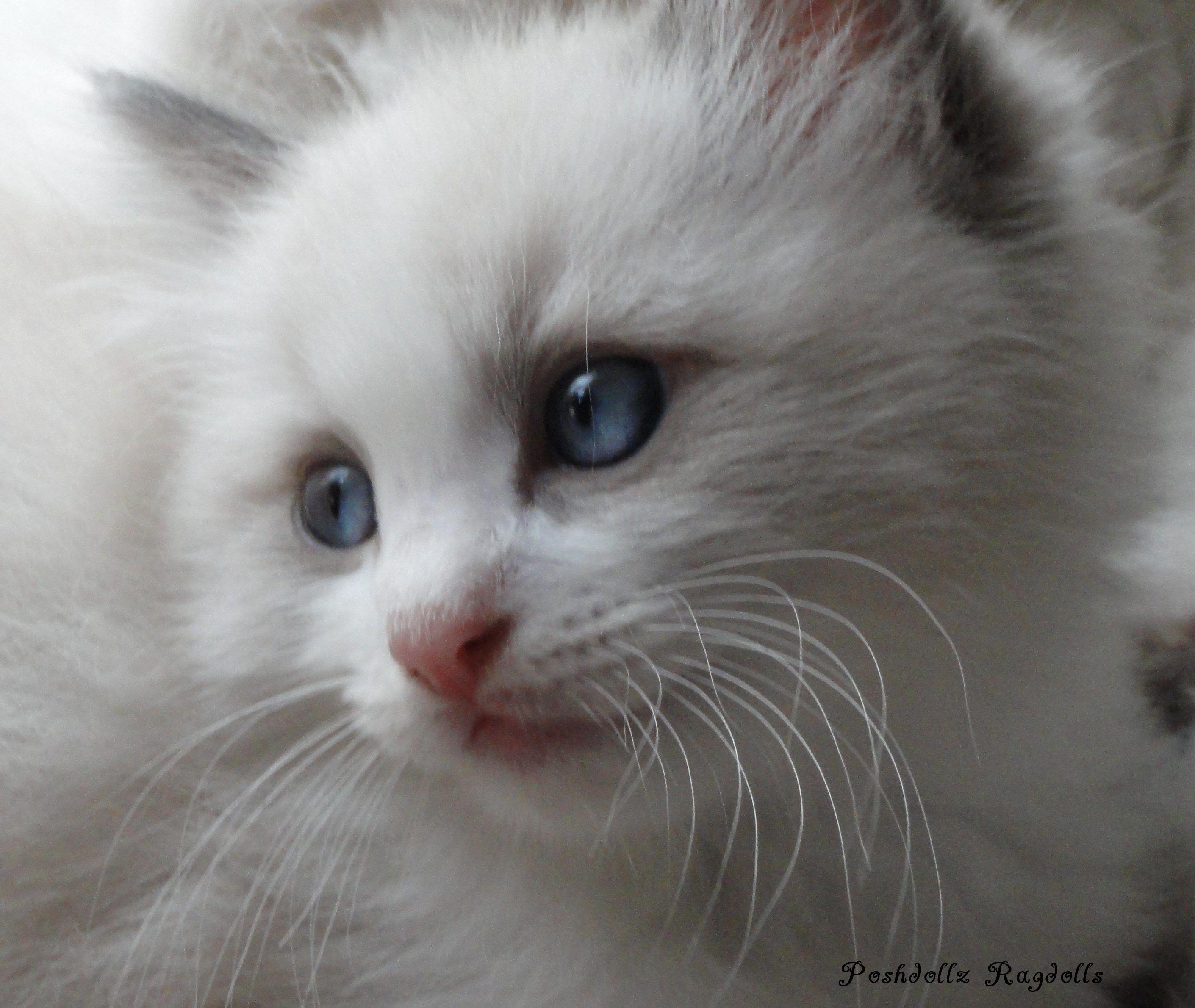 Blue Point Bicolor Ragdoll Kitten POSHDOLLZ RAGDOLLS