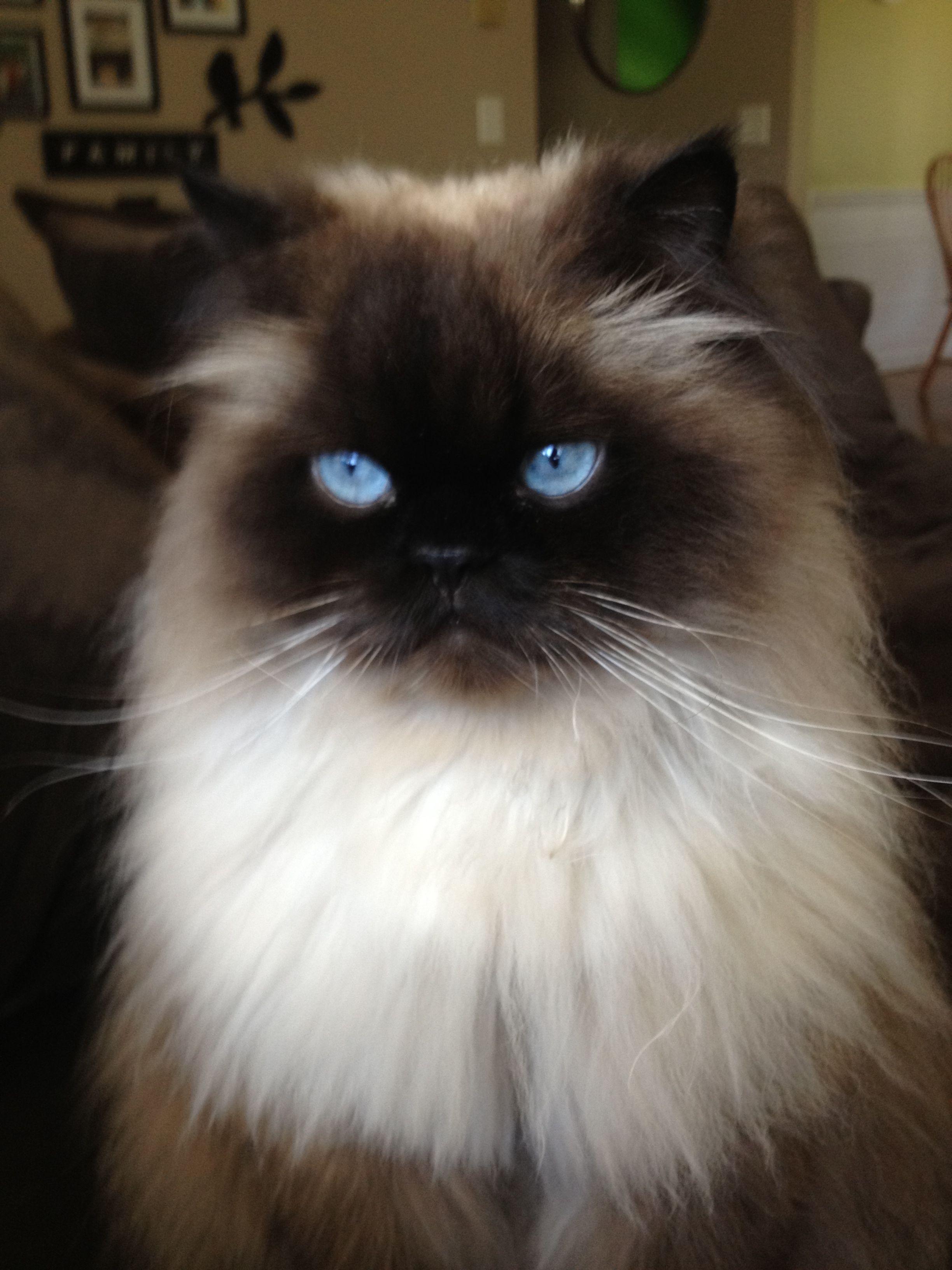 Himalayan cat Beautiful HERE KITTY KITTY Pinterest