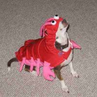 Top 10 Images of Dogs dressed as Lobsters