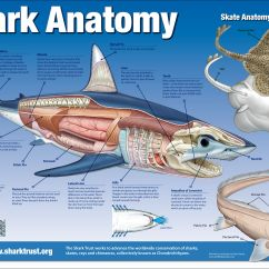 Great White Shark Anatomy Diagram Complete Parts E46 Hammerhead Angel Elsavadorla