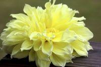 Dinner plate Dahlia | how my garden grows | Pinterest