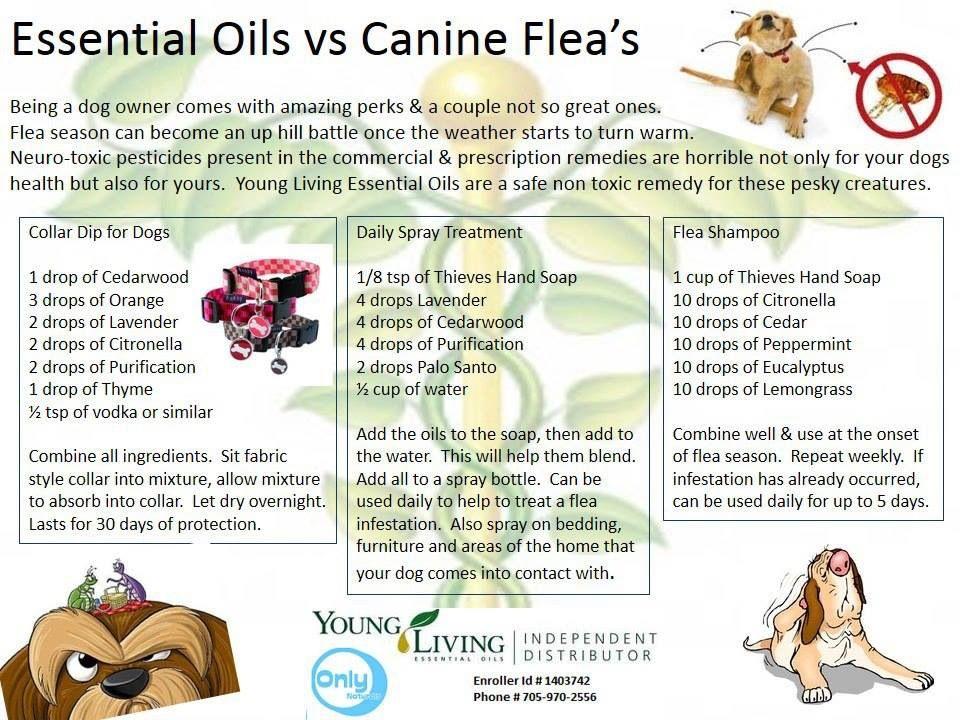 Essential oils vs. canine fleas Puppy Dog Tails Pinterest