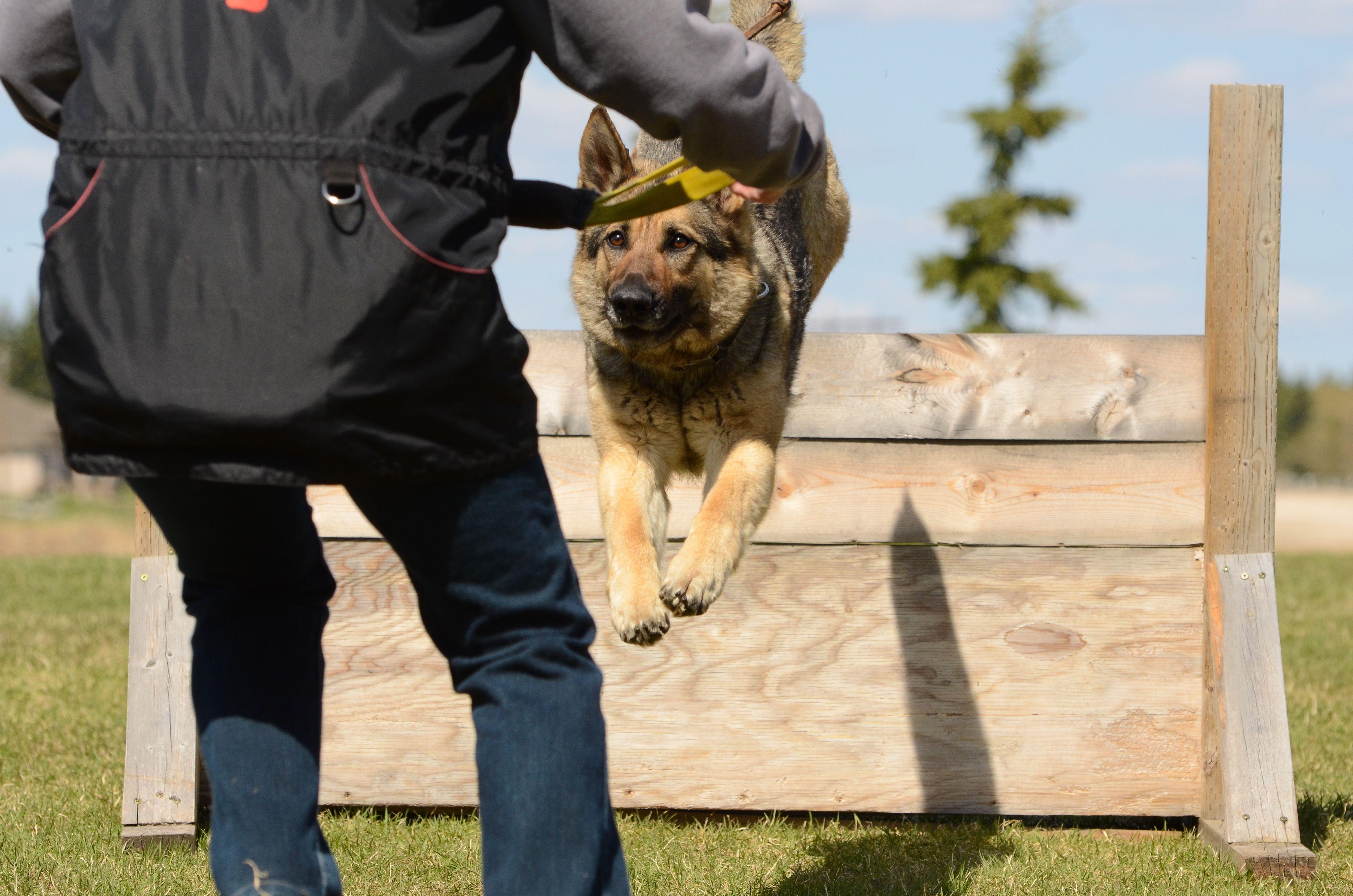 GermanShepherd, Schutzhund, GSD My German shepherd