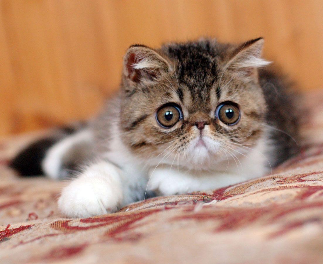 exotic shorthair cat pretty kitties Pinterest