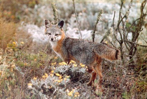 """'Dwarf' foxes, saved from extinction, make an incredible recovery:  Not long ago, the future looked bleak for the distinctly diminutive fox species that reside on California's Channel Islands. In the mid-1990s, the island fox's numbers had plummeted from the thousands to, in some cases, just over a dozen -- raising alarms that the species would soon be extinct and prompting them to be classified as a 'critically endangered' species."""