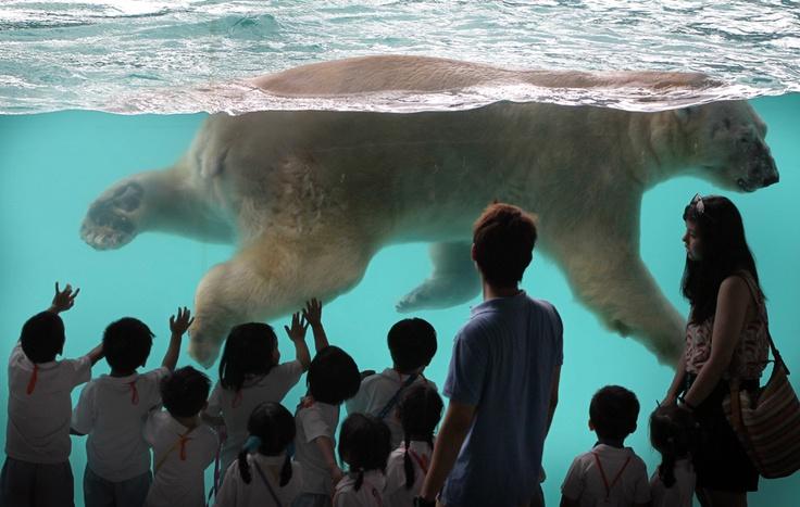 Il Primo orso polare NATO ai tropici, Nello zoo di Singapore.  (Wong Maye-E, Ap / Lapresse)