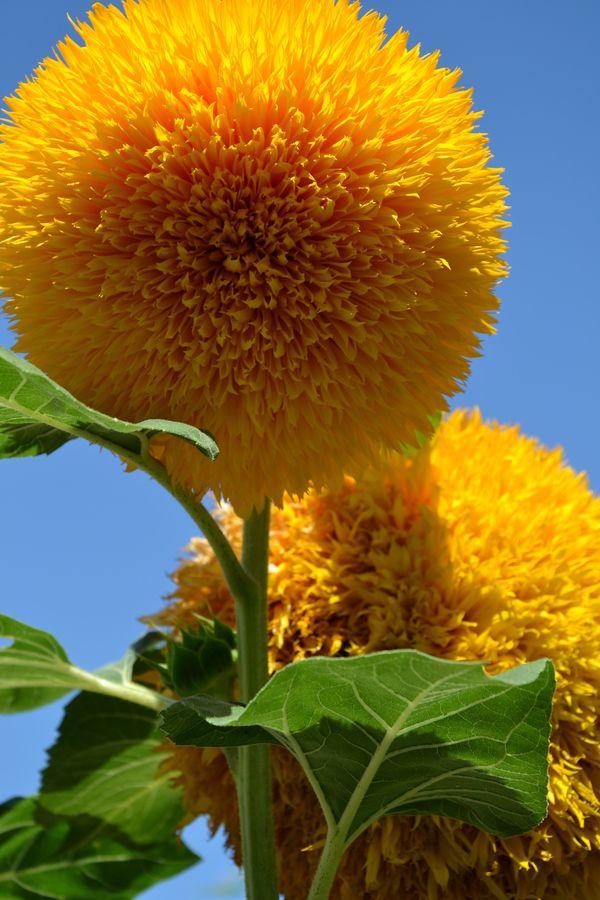 Teddy bear Sunflowers!