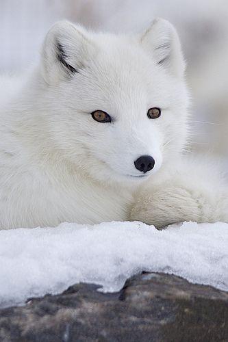 white fox...
