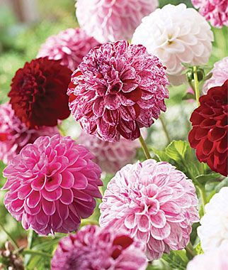 """Pot Luck"" Dahlia - un impianto produrrà decine di fioriture di varie Sfumature ...."