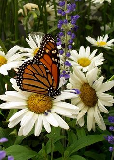 This picture reminds me of my mom and dad. Daisies were moms favorite flower and dad and I watched the butterflies in the back yard