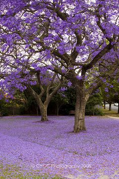 The most beautiful mess in the world is when the jacaranda petals fall.