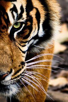 stvdy:  Sumatran Tiger (Michael Deneau)