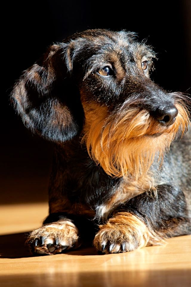 Dachshund mix, Scottish terriers and 3 year olds on Pinterest