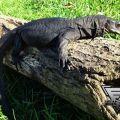 Black dragon monitor for sale tokovenuz com