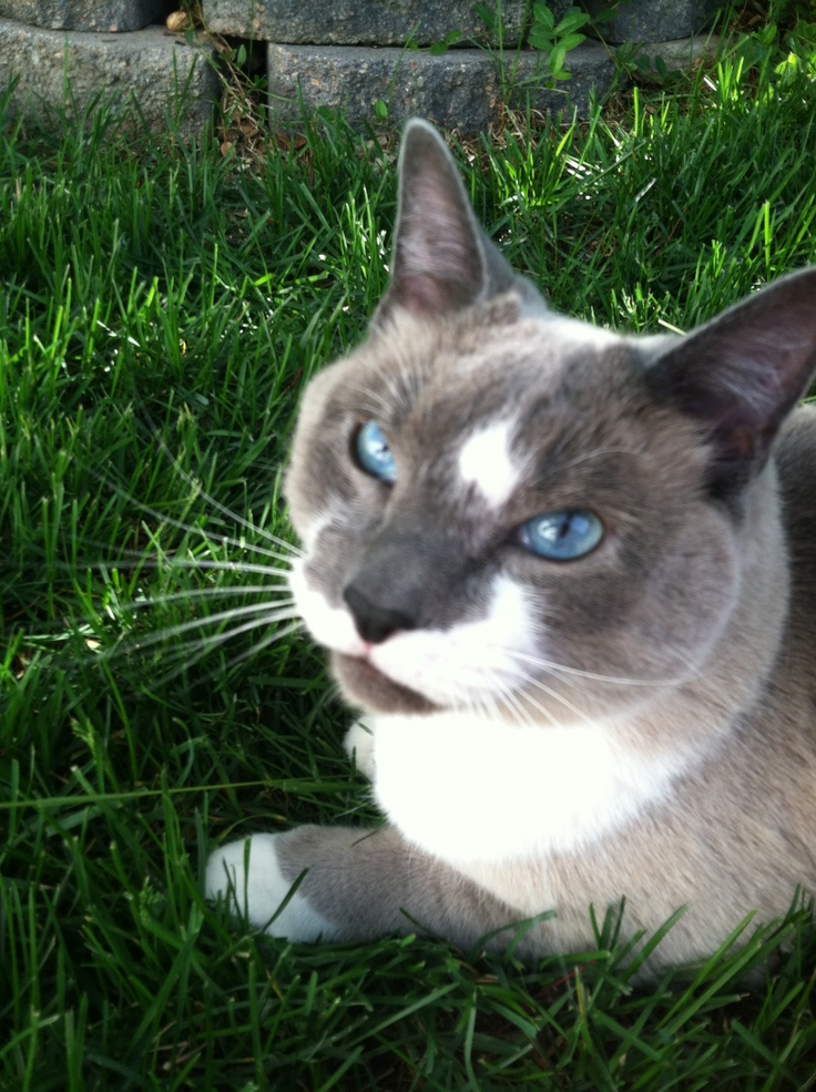 My rescue siamese mix cat. He's a luv Cats Rule! Pinterest