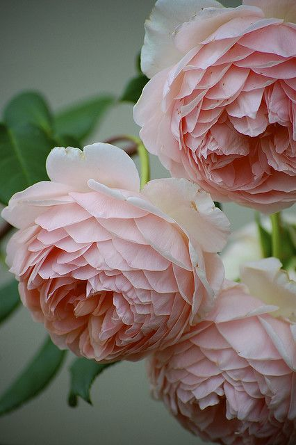 David Austin roses: William Morris, Old English Rose., gardening, landscaping