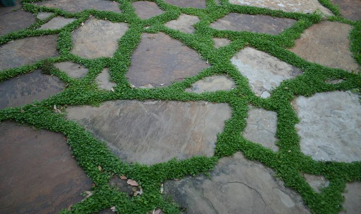 Ground Cover Between Pavers