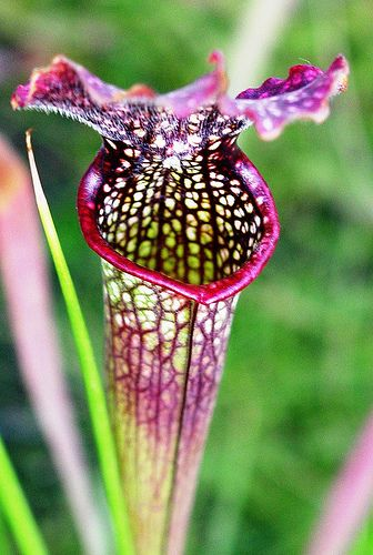 Pitcher plants are carnivorous plants whose prey-trapping mechanism features a deep cavity filled with liquid known as a pitfall trap. {Putting in the kitchen window, to keep out flies}