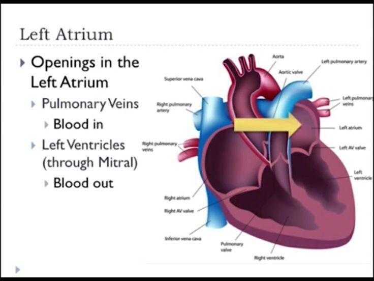 Left Atrium-Openings   Cardiac   Pinterest