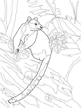 Tree Kangaroo Drawing