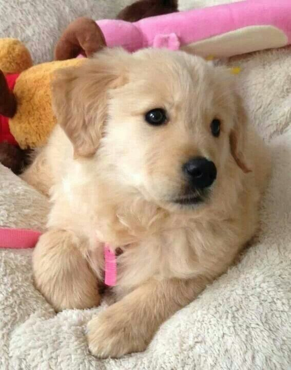 Golden Retriever Puppies Girl