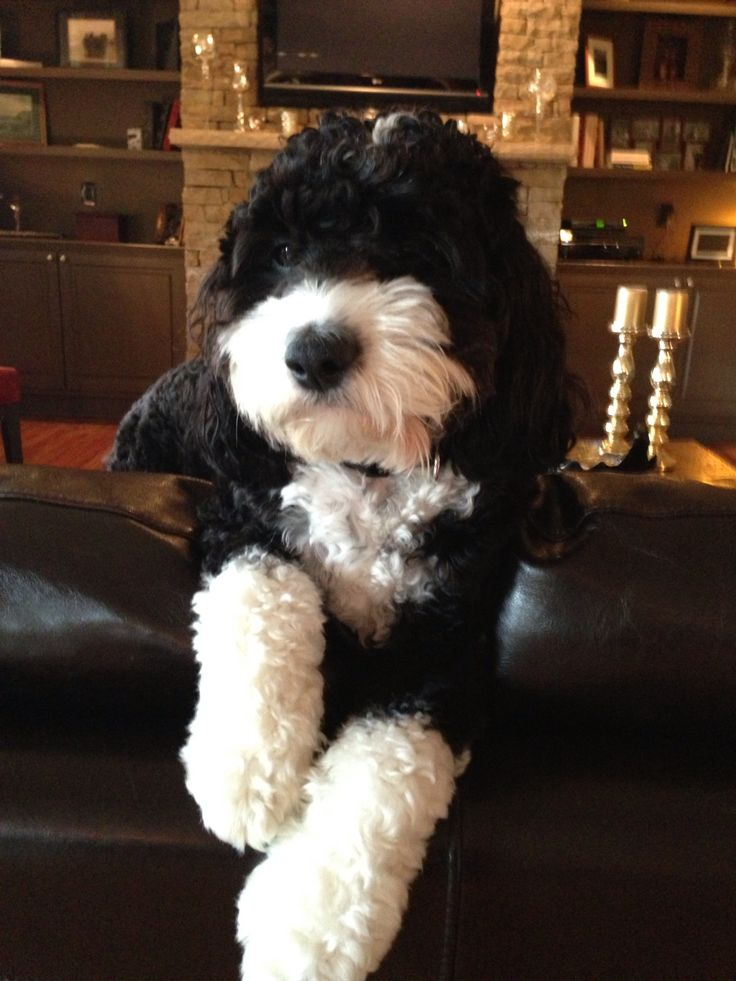 Bernese Mountain Dog Poodle Mix Puppies For Sale Uk