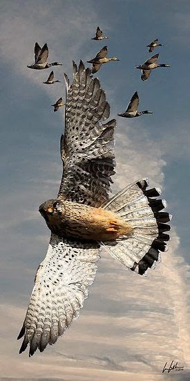 The Peregrine Falcon - Worlds Fastest Bird.  I was lucky enough to rescue one many years ago....