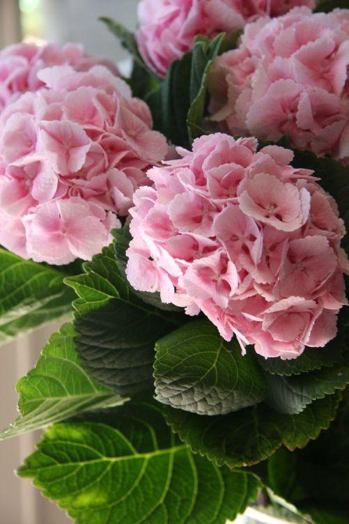 Se siete interessati ad avere fiori rosa non dovrete fare altro che aggiungere alla base delle radici, quindi nell'acqua dell'irrigazione, cenere di legna, nitrato di calcio oppure una parte di dolomite