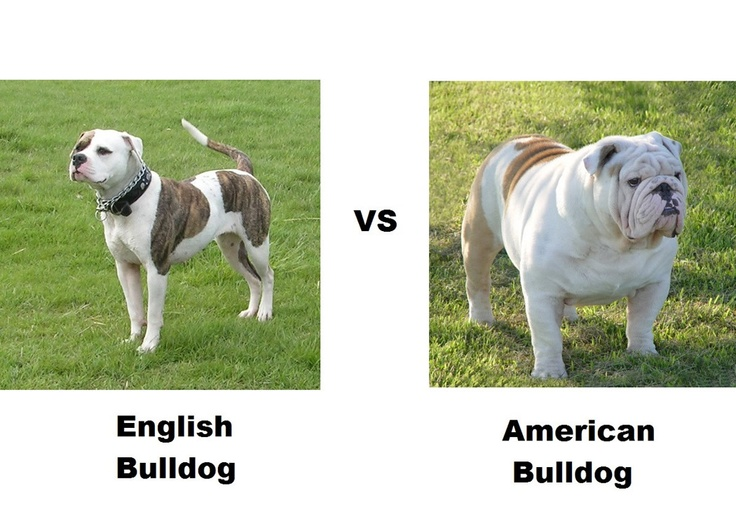 English Bulldog vs American Bulldog Cure your blues