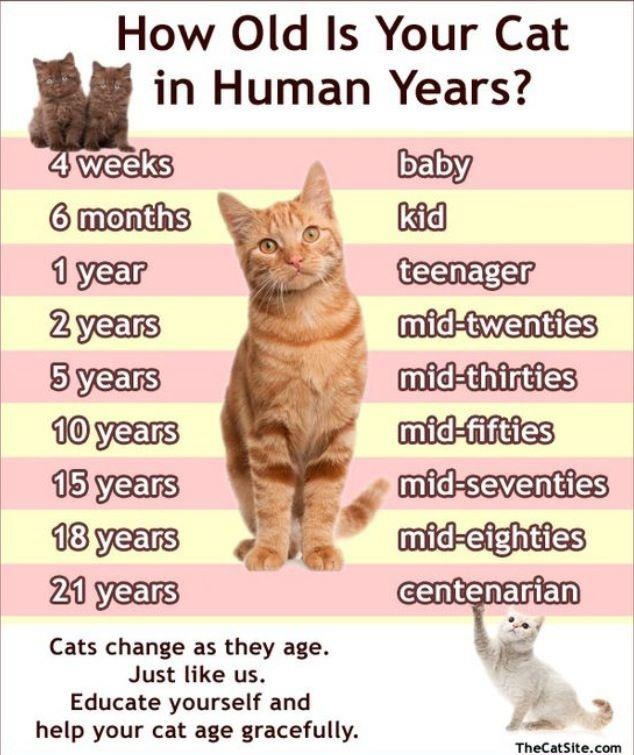 How old is your cat in human years? Cats Pinterest