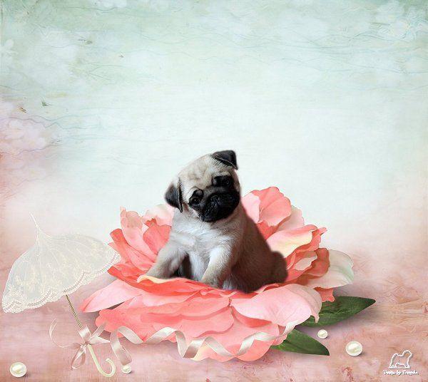 Pug Birthday Card Birthday Pinterest