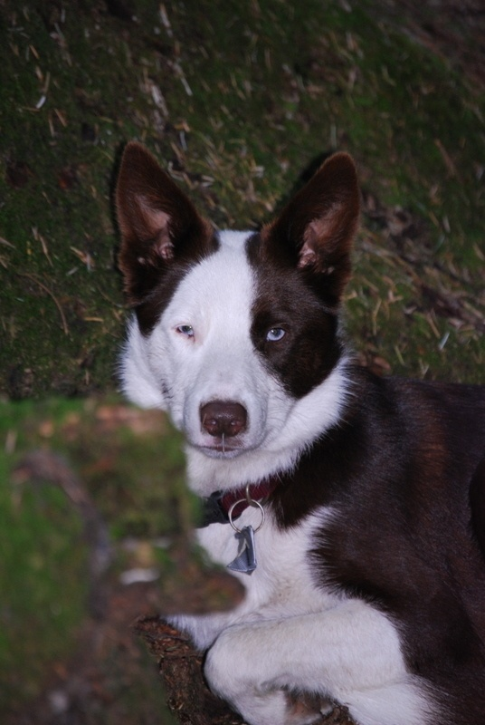 brown/white Border Collie Pets Pinterest