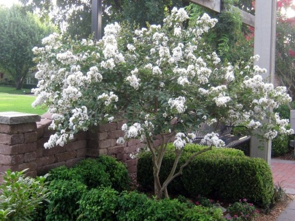 white crape myrtle. nice landscaping