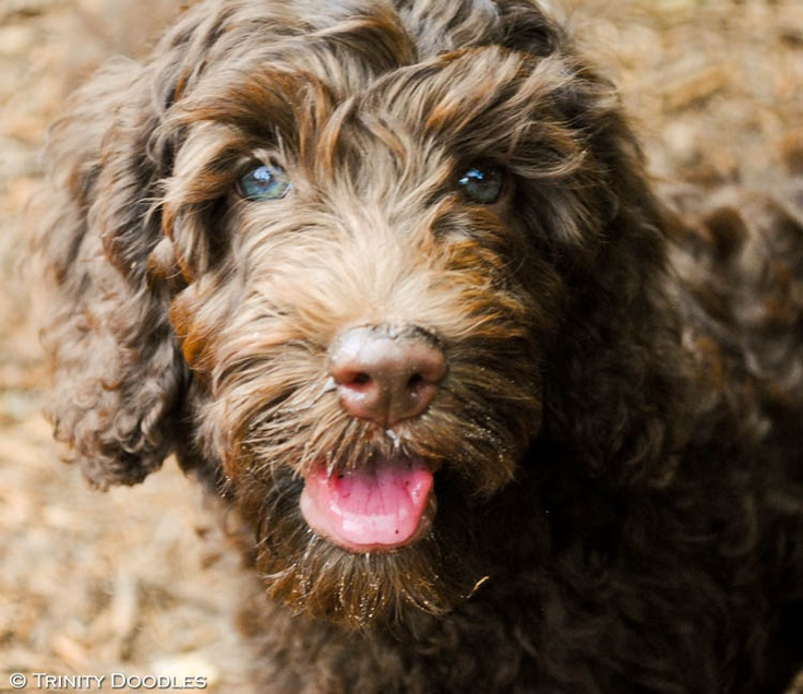 chocolate Australian labradoodle puppy Must own a dog