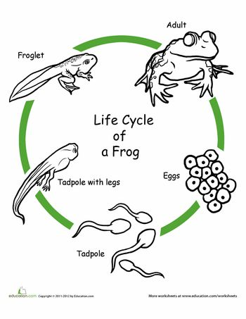 Color the Life Cycle: Frog