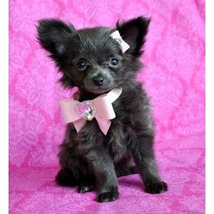 long haired teacup chihuahua chihuahuas pinterest