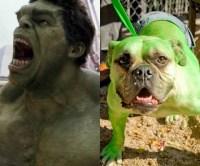 The Hulk Dog Costume | Halloween Costume Ideas | Pinterest