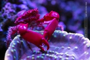Red Emerald Crab