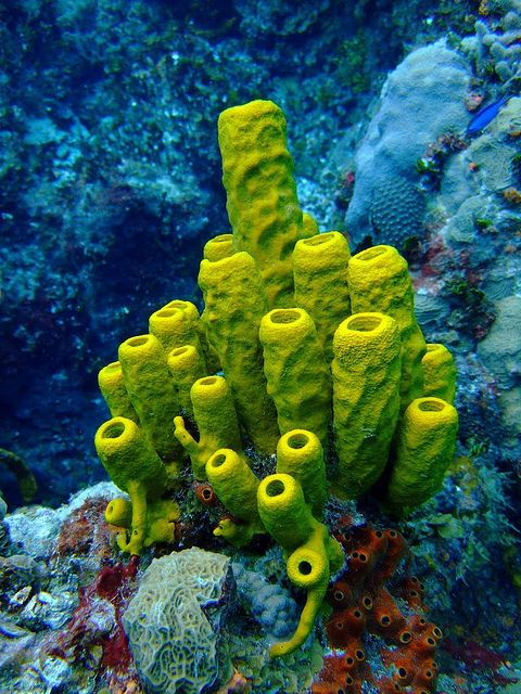 Break a sponge in half, and two grow.  More than a colony, less vulnerable than a tissue-based creature.  Human societies could learn a lesson from the lowly sponge. Tube Sponge (Aplysina fistularis).
