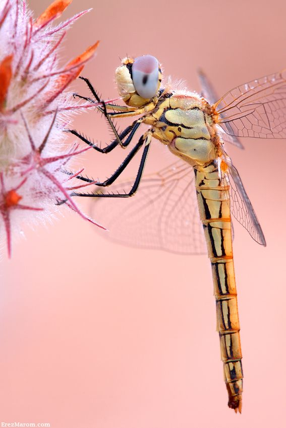Dragonfly Profile   Erez Marom