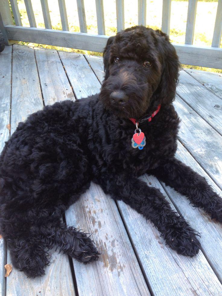 Black goldendoodle I wanna dog.... Pinterest